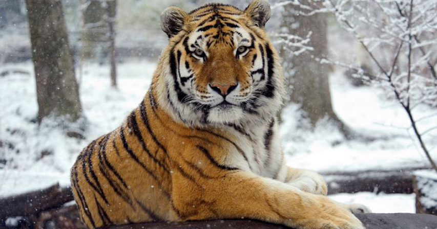 Tiger tests positive for coronavirus with six other zoo animals showing symptoms