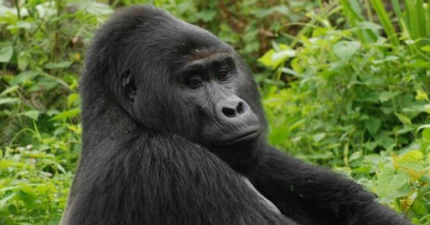 Killer of rare gorilla Rafiki jailed for 11 years