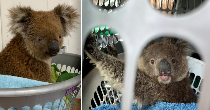 Australia's Bushfires Killed Or Harmed More Than 60,000 Koalas