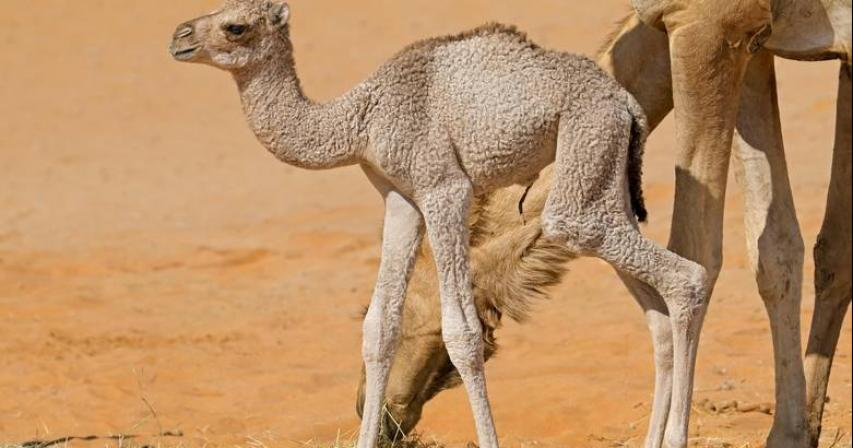 UAE: Man arrested for stealing camel as gift for girlfriend