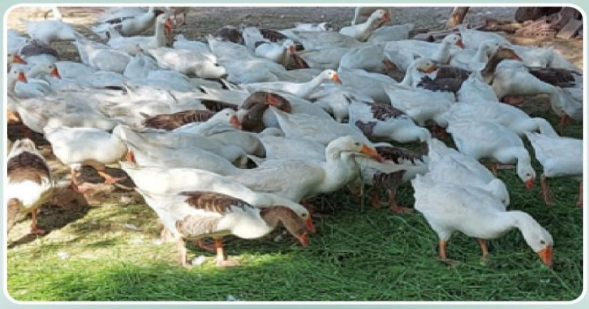Ministry provides 100 snow geese to Al Bayt Stadium and Aspire Park ponds