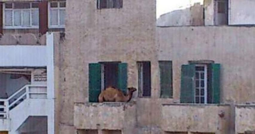 How did this Egyptian take a camel to his 5th floor balcony?