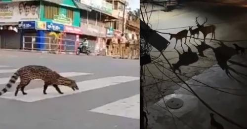 Oh Deer! Wild, Endangered Animals Spotted Across Empty Streets