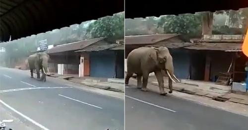 Elephant Roving Around Streets to 'Inspect' Lockdown