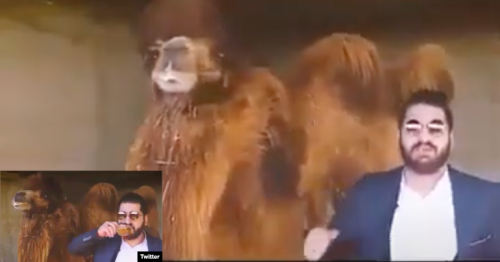 Iranian Islamic medicine 'specialist' claims camel urine cures coronavirus infections