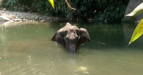Pregnant elephant dies standing in river after consuming firecracker-laden pineapple