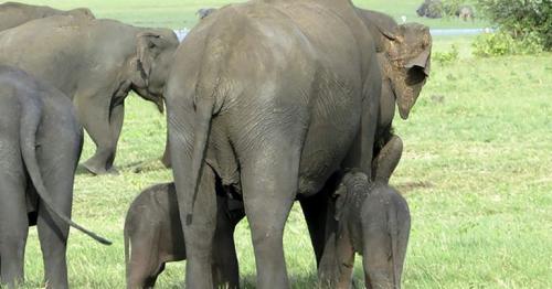 Sri Lanka rangers spot possible rare baby elephant twins
