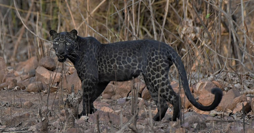 Rare BLACK leopard is spotted drinking from a pond at Indian reserve