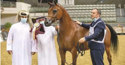 Al Shaqab celebrate three class wins at Qatar National Arabian Horse Show