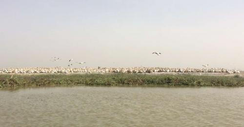 Hundreds of dead pelicans in Senegal test positive for H5N1 bird flu