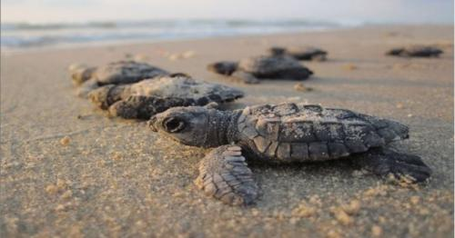 MME implements measures to prevent hawksbill turtles at beach