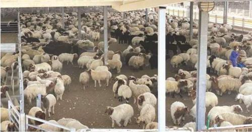 Ministry buys 9801 sheep to encourage local sheep production