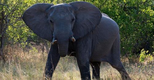 NRA's Wayne LaPierre elephant hunt video sparks outrage
