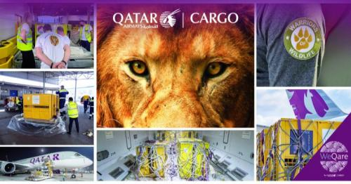 Qatar Airways cargo helps seven rescued lions return freely to their natural habitat