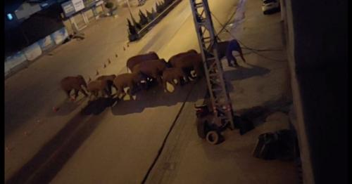 Herd of wild elephants approaches Chinese city after 500km journey