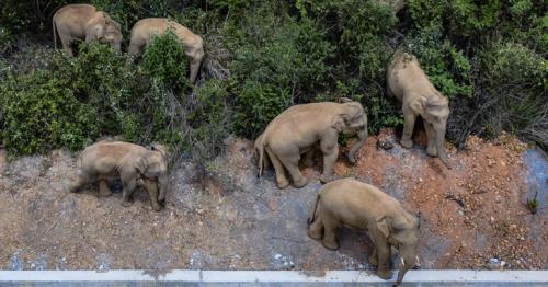 China's wandering elephants becoming international stars
