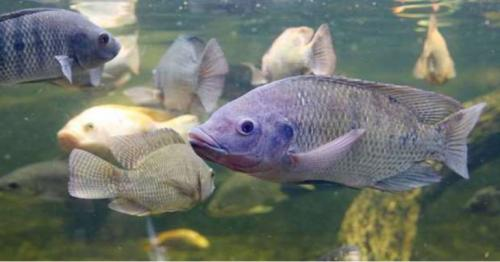 MME official: Fish farms expected to produce 600 tonnes of tilapia annually