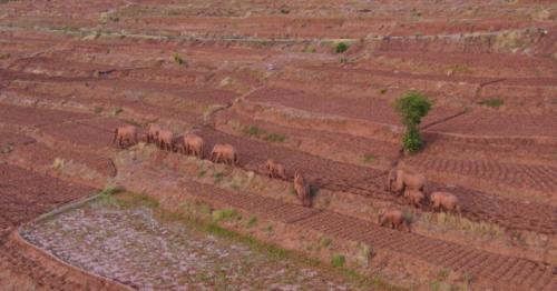 Elephant herd trekking across China leave one behind