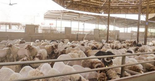 MOCI announces sale of subsidised sheep to citizens