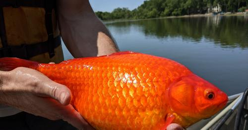 Warning After Giant Goldfish Found in US Lake